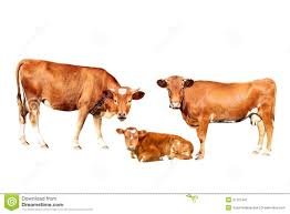 brown cow stock image image 31701441