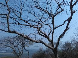 file leafless trees jpg wikimedia commons