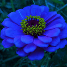 zinnias flowers blue zinnia flower search flowers zinnias