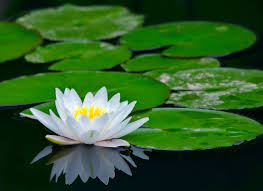 Pictures Of Beautiful Flowers In The World - the lotus flower is known by a number of names including indian