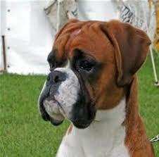 boxer dog quebec sitting boxer dog statue dog