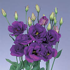 lisianthus flower premium purple lisianthus flowers global
