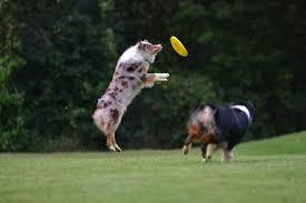 australian shepherd 2015 nationals lizzy minisoda shepherds