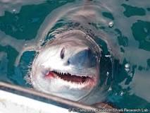Image result for Porbeagle shark