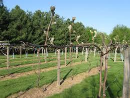 Growing Grapes Trellis Vineyard Trellis And Training Winemaker Magazine