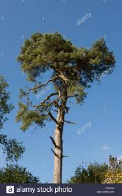 top growth on a scot s pine tree pinus sylvestris with sparse