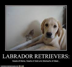 Black Lab Meme - the pros cons of labradors the pet matchmaker