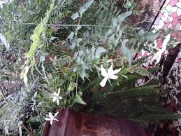 Tree Care Tips To Make by Garden Care Simplified How To Make Chameli Climber Flower Tips