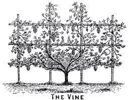the three tree of israel olive fig vine judge