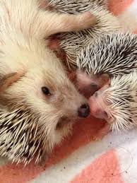 67 best hedgehog happiness images on pinterest baby animals