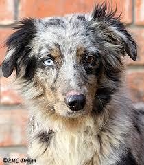 w lazy j australian shepherds cut u0027n loose stockdogs