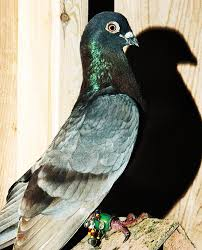 fly away home with duke riley u0027s pigeons wsj