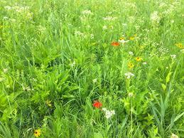 native prairie plants illinois strategies for stewards from woods to prairies thirteen ways of