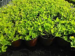 zugar growers plantant