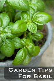 enjoy basil year round by growing it indoors u0026 outdoors tipnut com