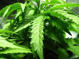 how to help marijuana plants survive the heat grow weed easy