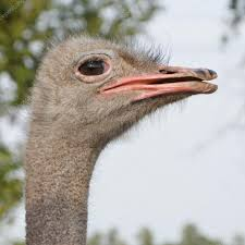 ostrich side view u2014 stock photo katerinushka 12724842