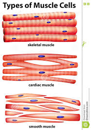 types of mugs diagram showing types of muscle cells stock vector image 73989734