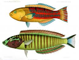 animal u2013 fish u2013 red green 2 vintage printable at swivelchair