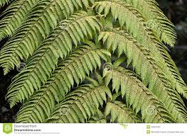 Free Picture Leaf Nature Fern Green Fern Plant Leaf In Nature Photo Stock Photo Image Of Spores
