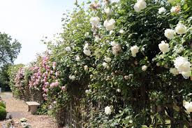 file cemetery white and pink rose trellis at theydon bois essex
