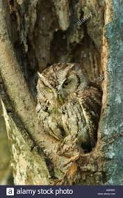 screech owl in screech owl in tree stock photo 2143725 alamy