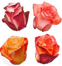 bulk roses assorted bicolor roses premium wholesale flowers free