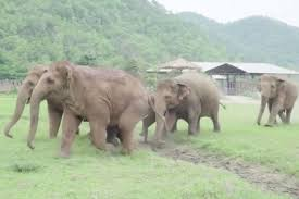 elephant herd race to welcome calf orphaned at four months old in