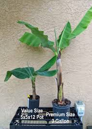 yellow banana tree just fruits and exotics