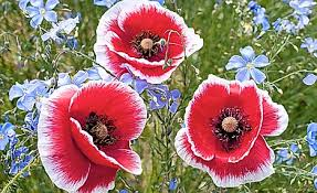 poppies flowers top of the poppies how to introduce the wonderful flowers