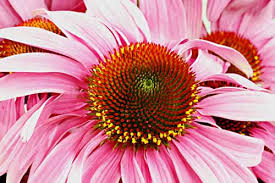 Echinacea Flower Purple Coneflower Echinacea Purpurea Organically Grown Flower
