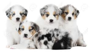 characteristics of a australian shepherd 71 most cute australian shepherd puppies pictures and photos
