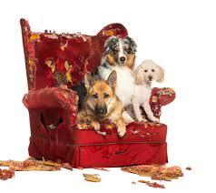 australian shepherd and poodle german and australian shepherd and poodle on destroyed armchair