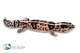 Halloween Crested Gecko Morph by Ires Reptiles Collection Hemitheconyx Caudicinctus Fat
