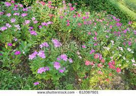 Vinca Flowers Vinca Flower Immagini Stock Immagini E Grafica Vettoriale Royalty