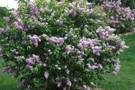 Trees Plants And Flowers - how to plant and care for lilacs hgtv