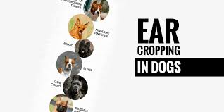 affenpinscher how much do they cost ear cropping in dogs u2014 price legality surgery u0026 aftercare