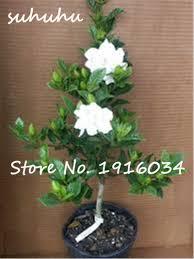 Fragrant Potted Plants 30pcs Rare Bonsai Tree Jasmine Flower Seeds White Jasmine Seeds