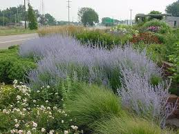 russian native plants w w greenhouses ppa perennial of the year plants pinterest