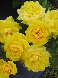 196 best roses images on pinterest garden centre david austin