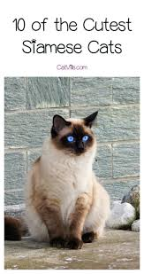 10 of the cutest siamese cats to make your day catvills