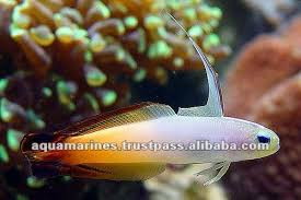 sri lanka tropical fish aquarium fish ornamental fish buy