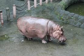si e social hippopotamus s oldest hippo dies at manila zoo the manila times