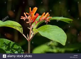 firebush hummingbird bush hamelia patens flowering twig stock