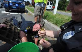 five ducklings rescued from hyannis storm drain news