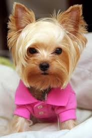 haircuts for yorkie dogs females donald trump s combover yorkshire terrier yorkshire and terrier