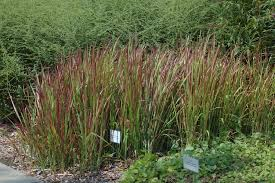japanese blood grass plant how to grow japanese blood grass
