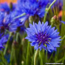 cornflower blue blue cornflower bachelor button seeds american