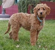 goldendoodle puppy virginia f1 goldendoodle puppies in virginia goldendoodle puppies for