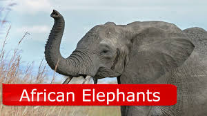 african elephant facts for kids youtube